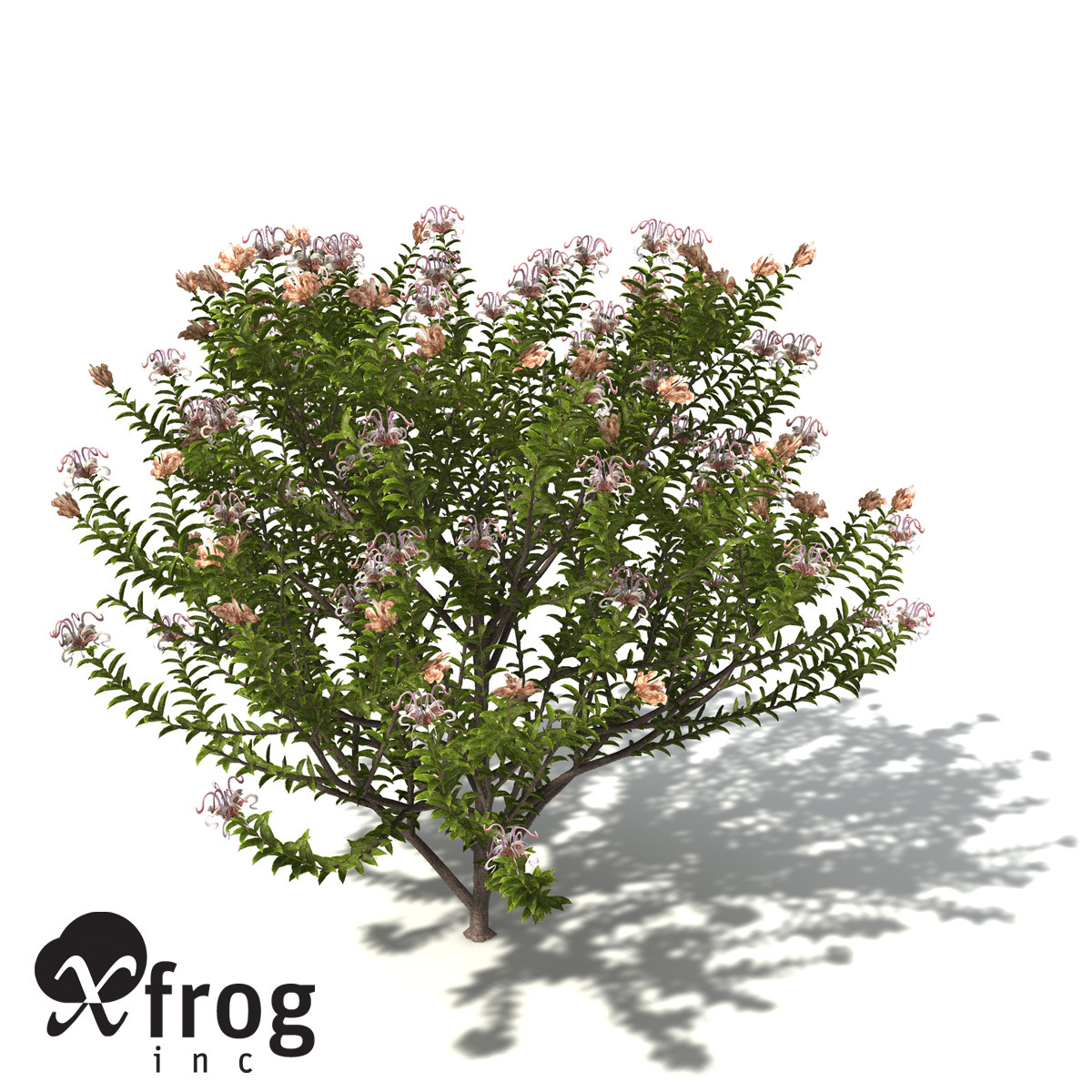 XfrogPlants Grey Spider Flower