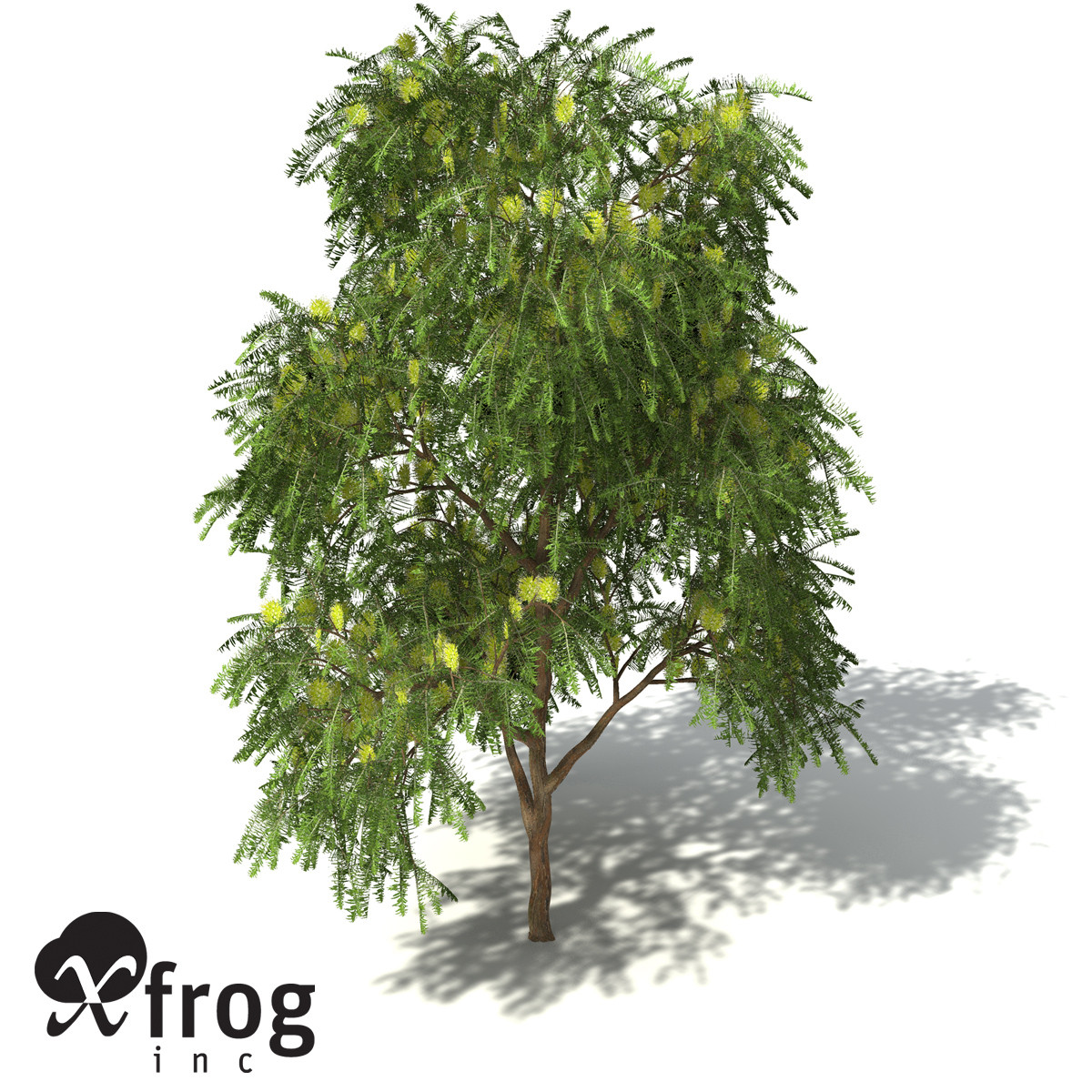 XfrogPlants Green Honey Myrtle