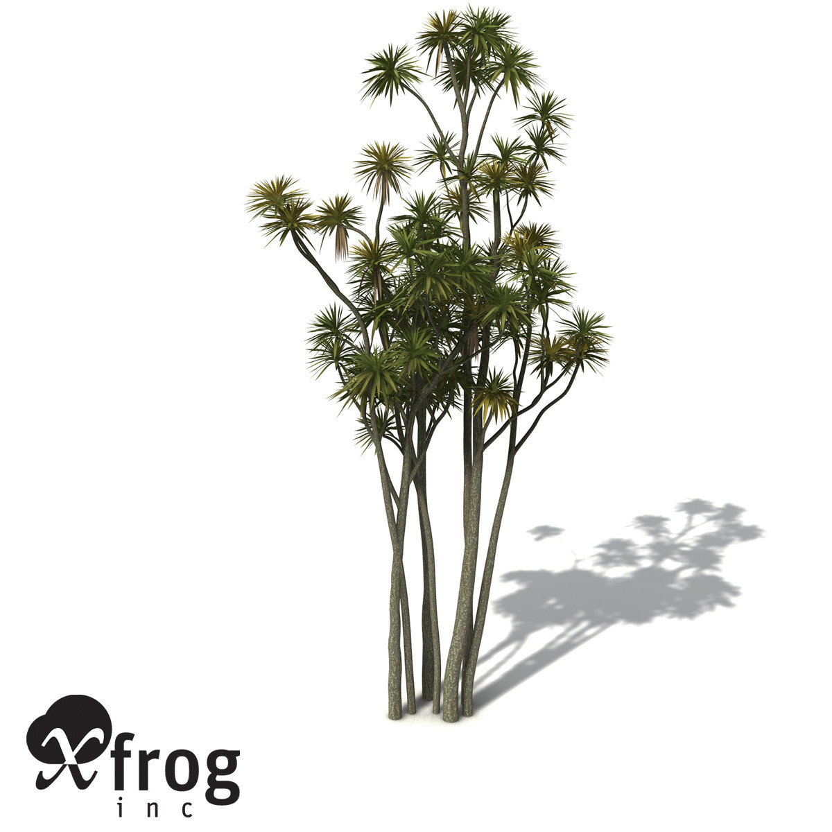XfrogPlants New Zealand Cabbage Tree