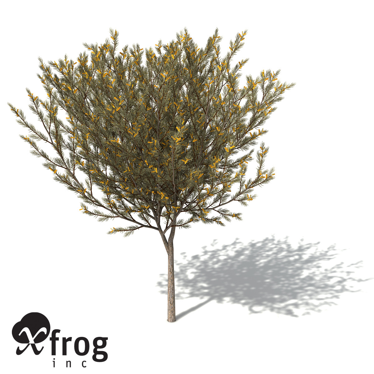 XfrogPlants True Mulga
