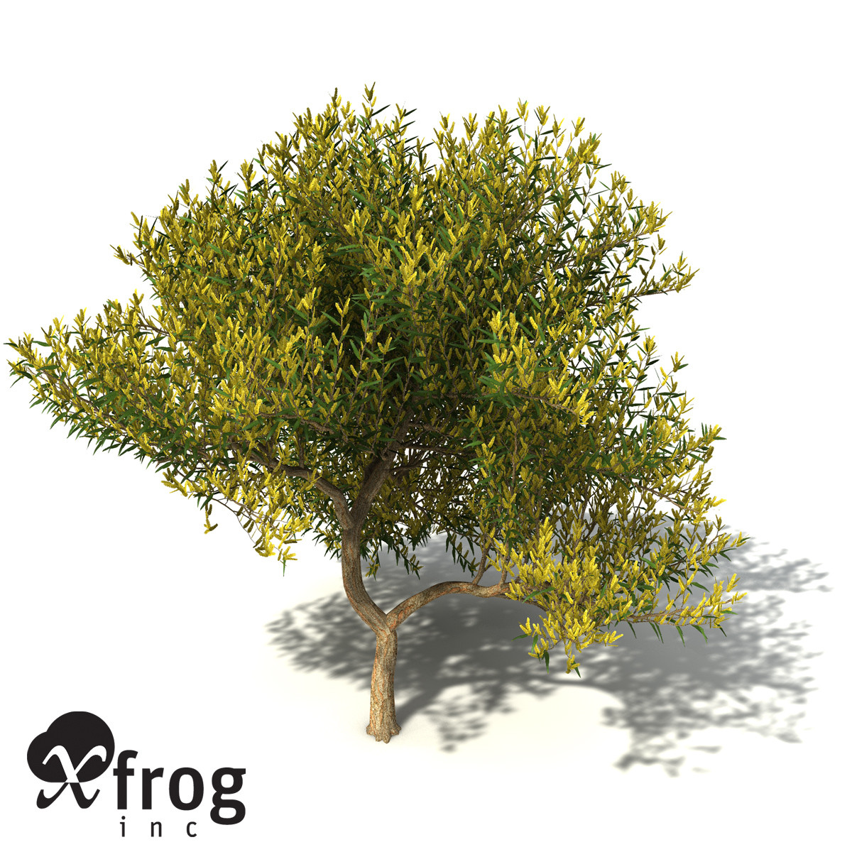 XfrogPlants Coastal Wattle