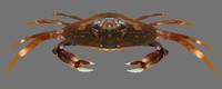 Dungeness Crab 3D models