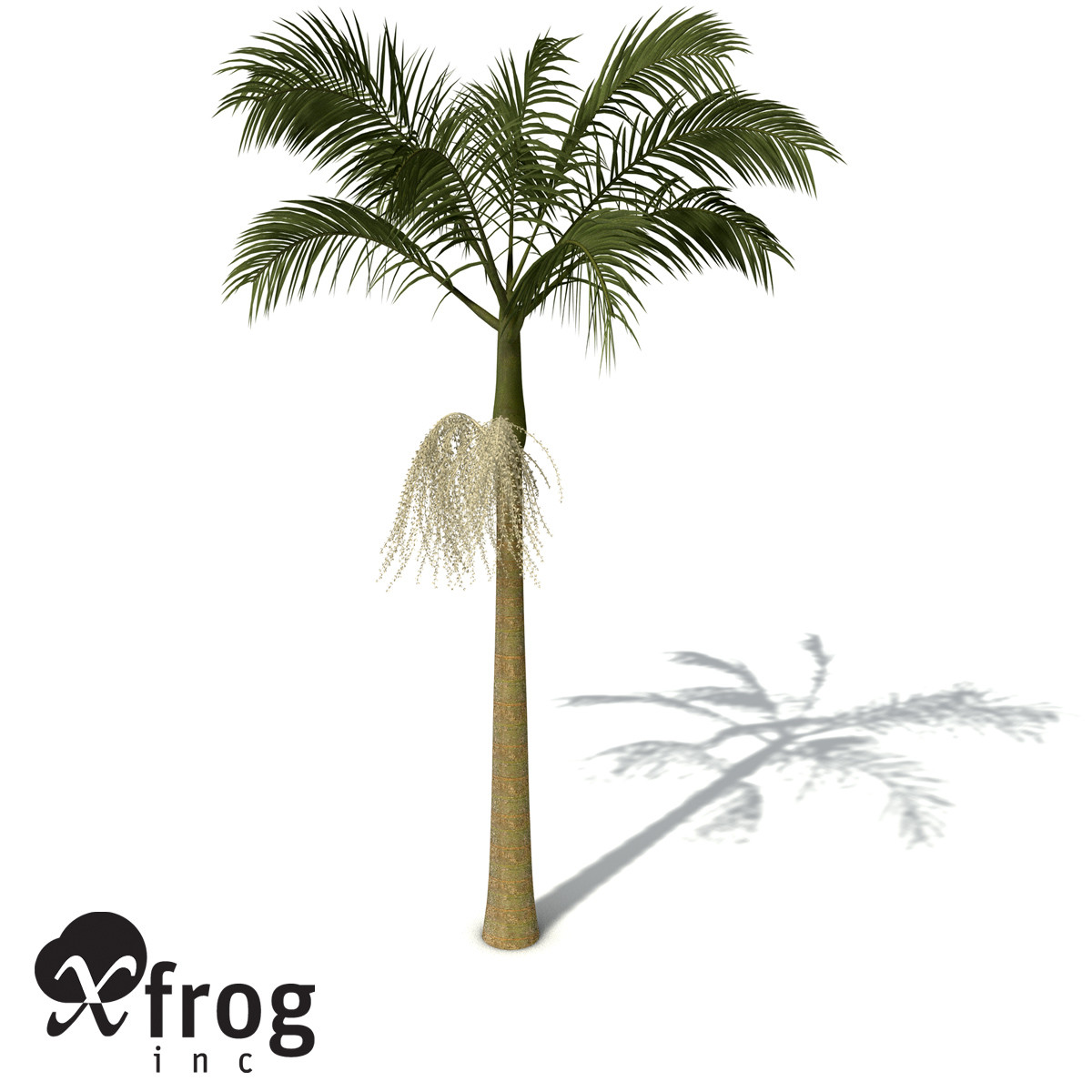 XfrogPlants Alexandra Palm