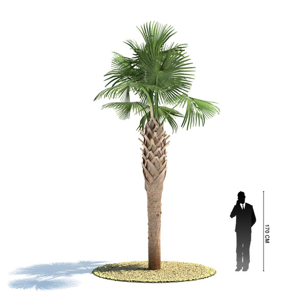 Sabal palmetto 3D Models