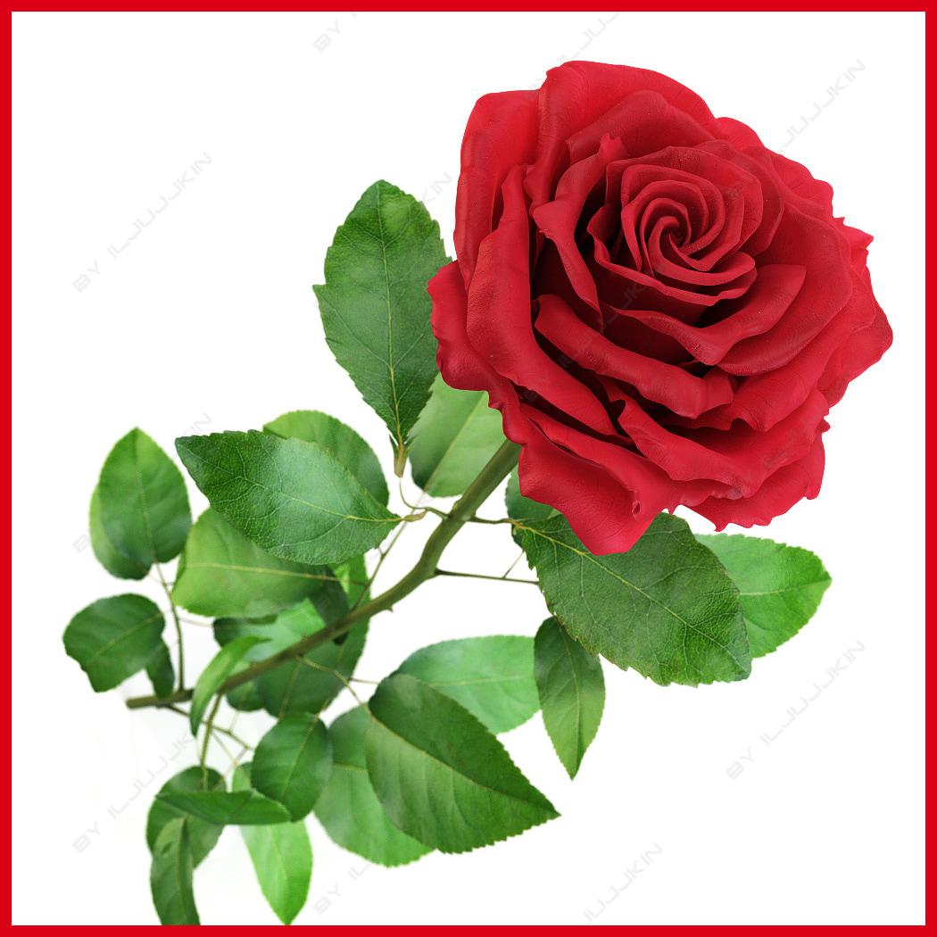 Rose_open_00.jpg