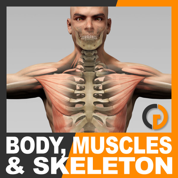 Human Male Body Muscular System and Skeleton - Anatomy 3D Models