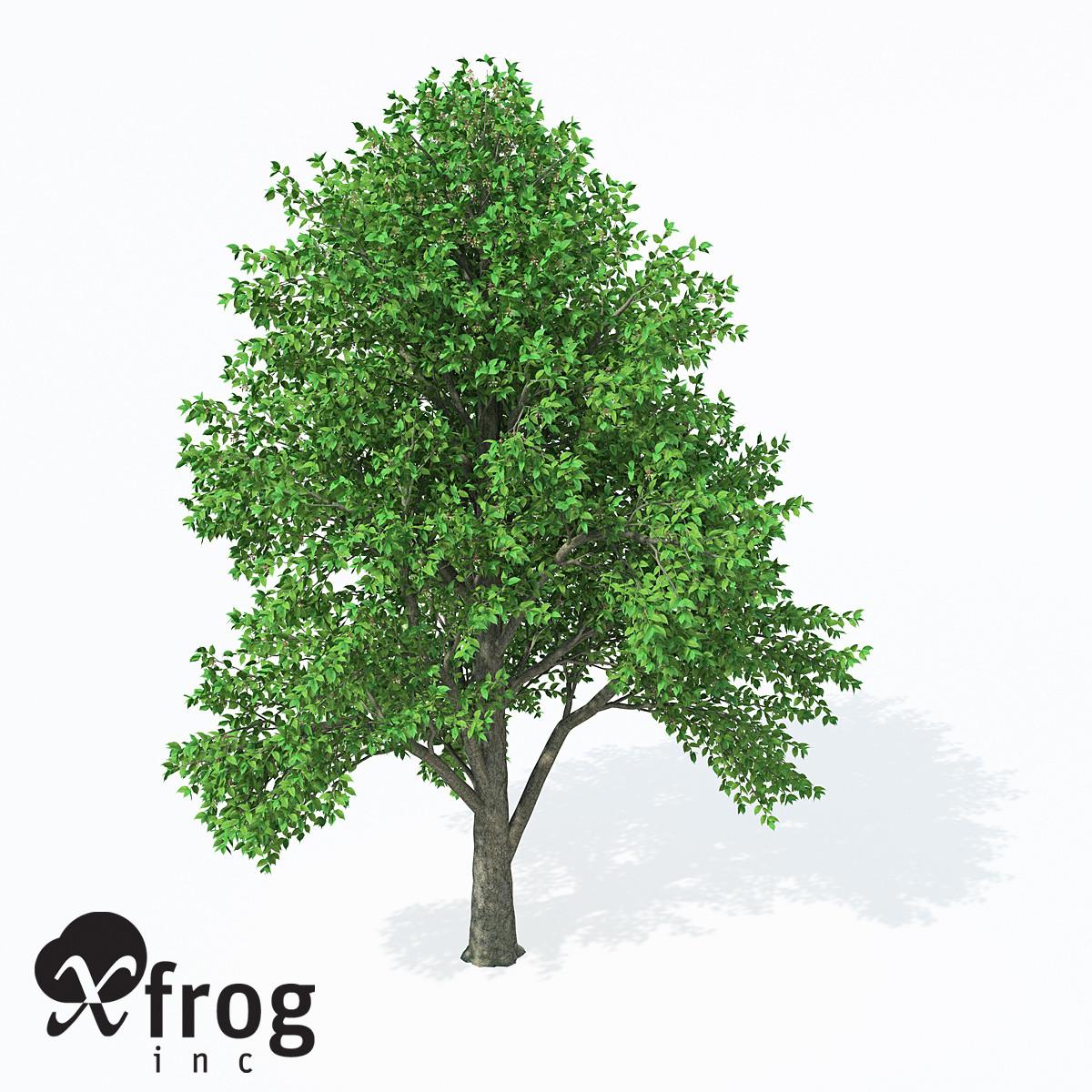 XfrogPlants European White Elm