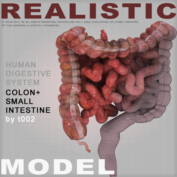 Highly Detailed Colon and Small Intestine 3D Models