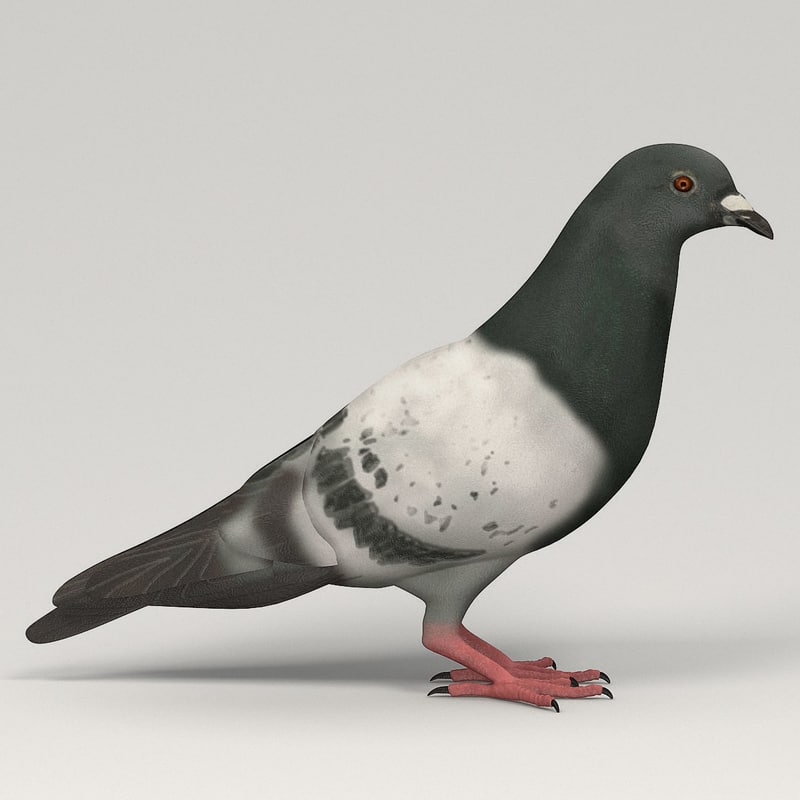 pigeona.jpg