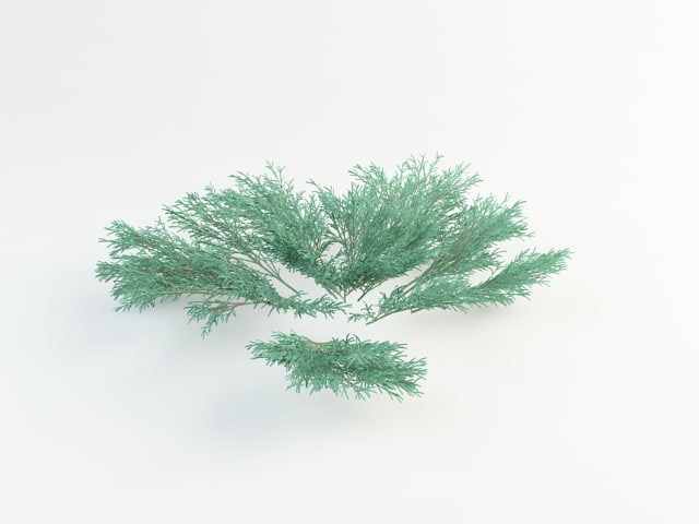 juniper sabina