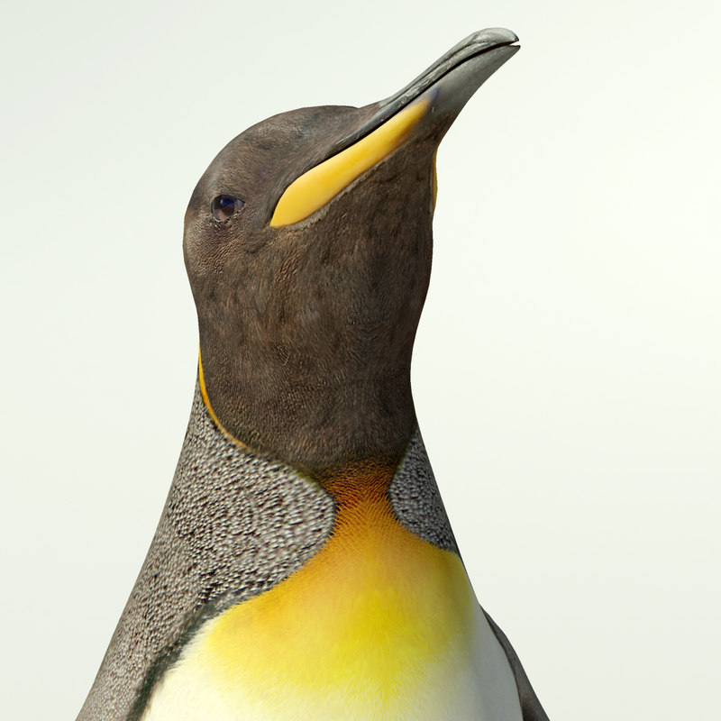 King penguin_7.jpg