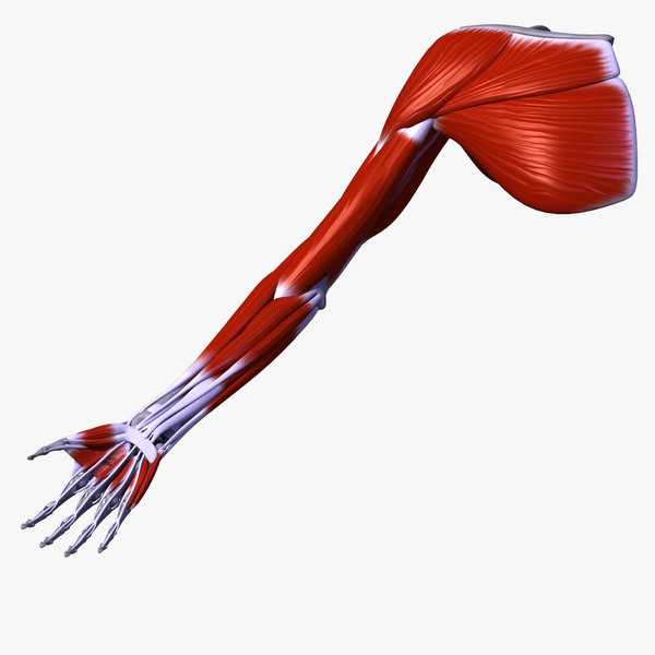 The Musculature Of The Upper Extremity 3D Models