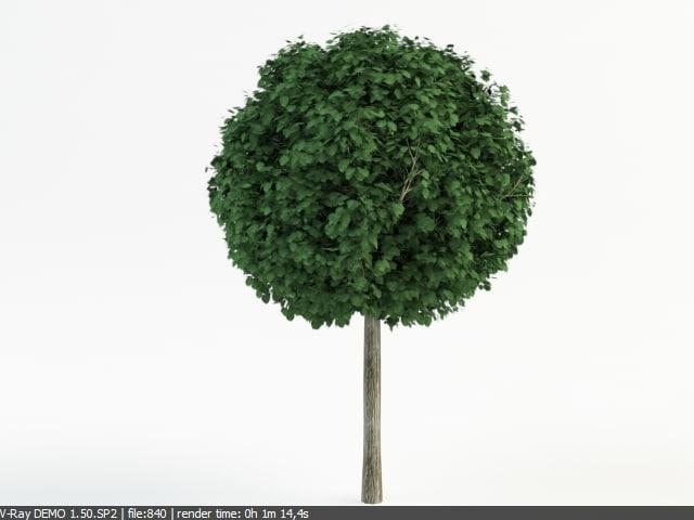 tilia_cordata_topiary.jpg