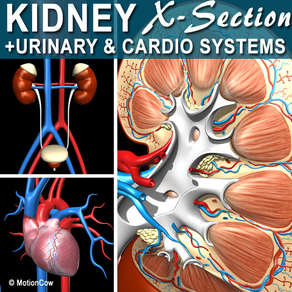 Kidney X-Section Complete 3D Models