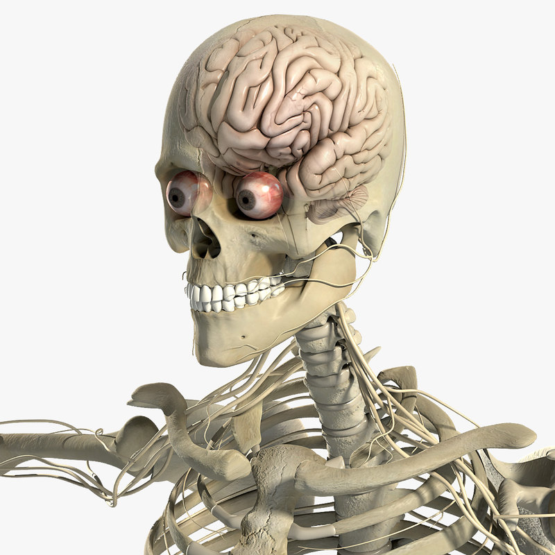 Male_Nervous_Skeletal_CM_01.jpg