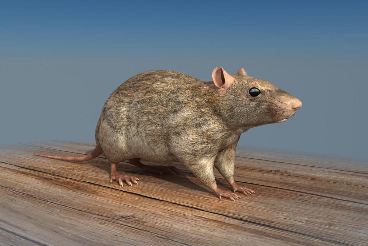 Rat_3d_model_01.jpg