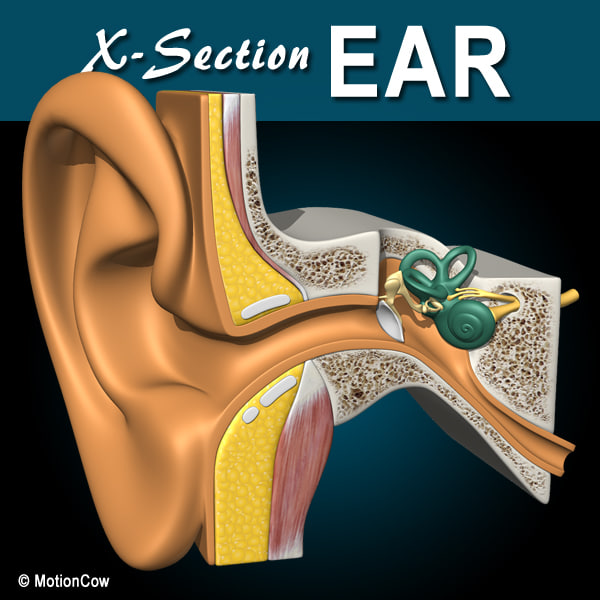 Ear X-Section 3D Models
