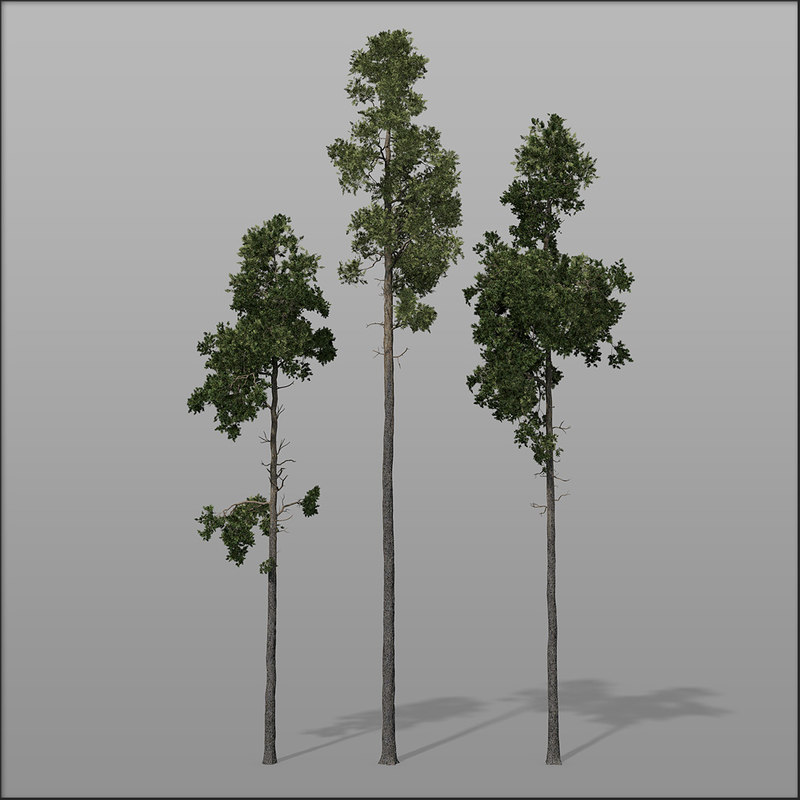 Pine_bundle1.jpg