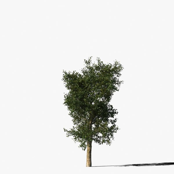 Platanus Type4 3D Models