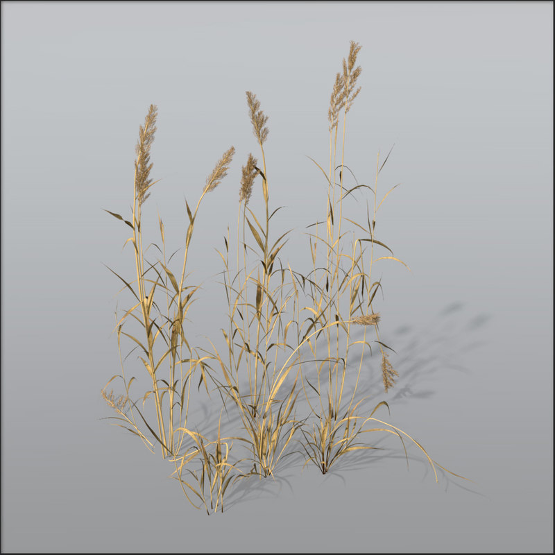 reed grasses dry 3d c4d