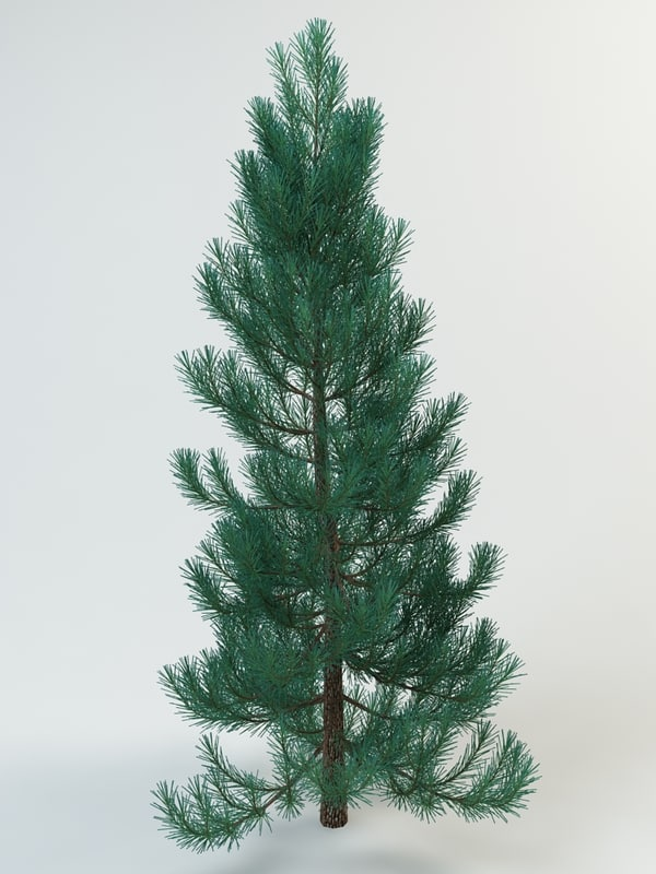 abies_concolor_1.jpg