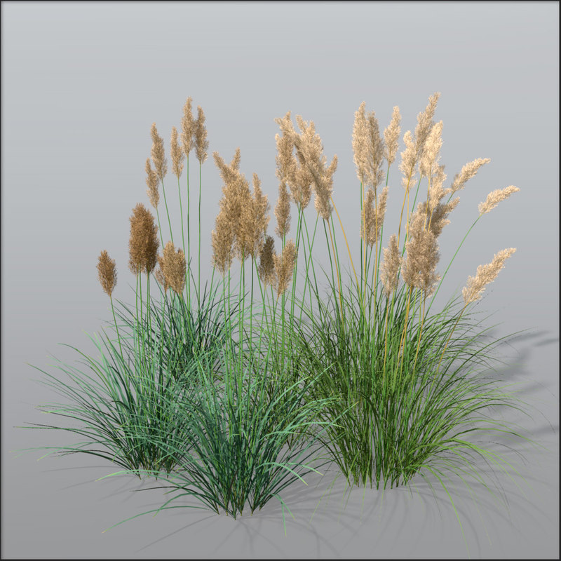3d pampas grass cortaderia model for Common ornamental grasses
