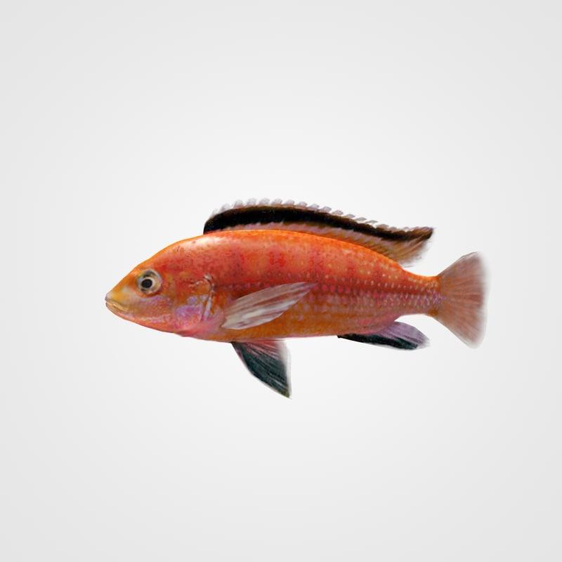 Fish Cihlida Labidochromis Colybry Riged