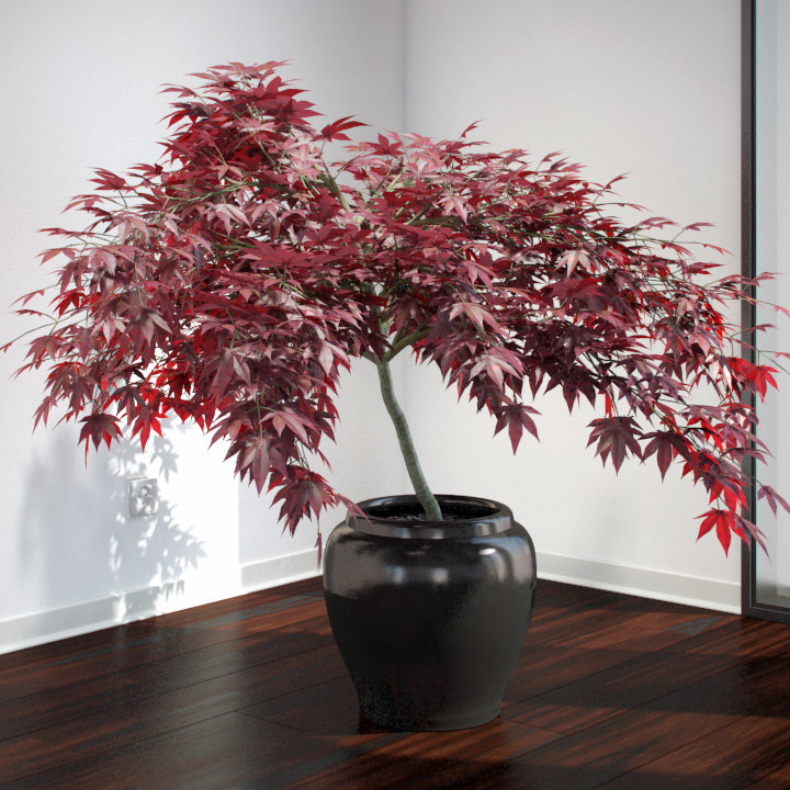 VP-Japanese-Maple-v3-01-FEATURE.jpg