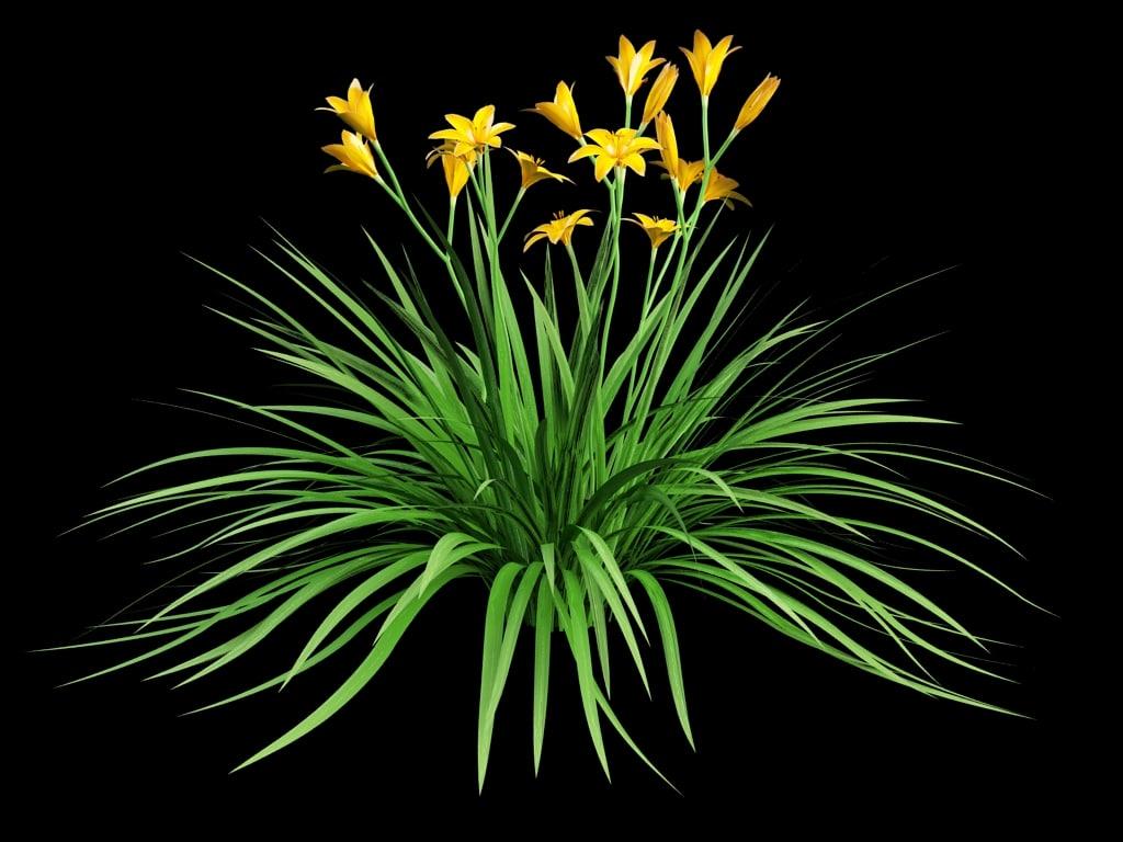 daylily hemerocallis