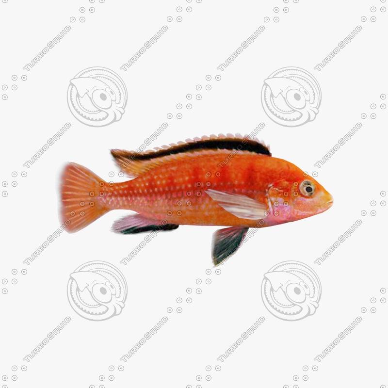 Fish Cihlida Labidochromis Colybry Riged v2