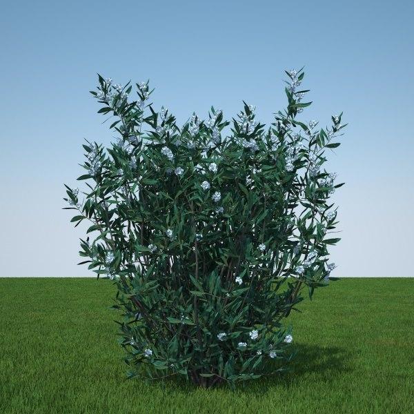 Nerium Oleander white