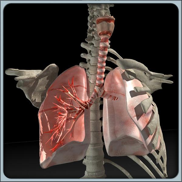 Lung&Torso Skeleton 3D Models
