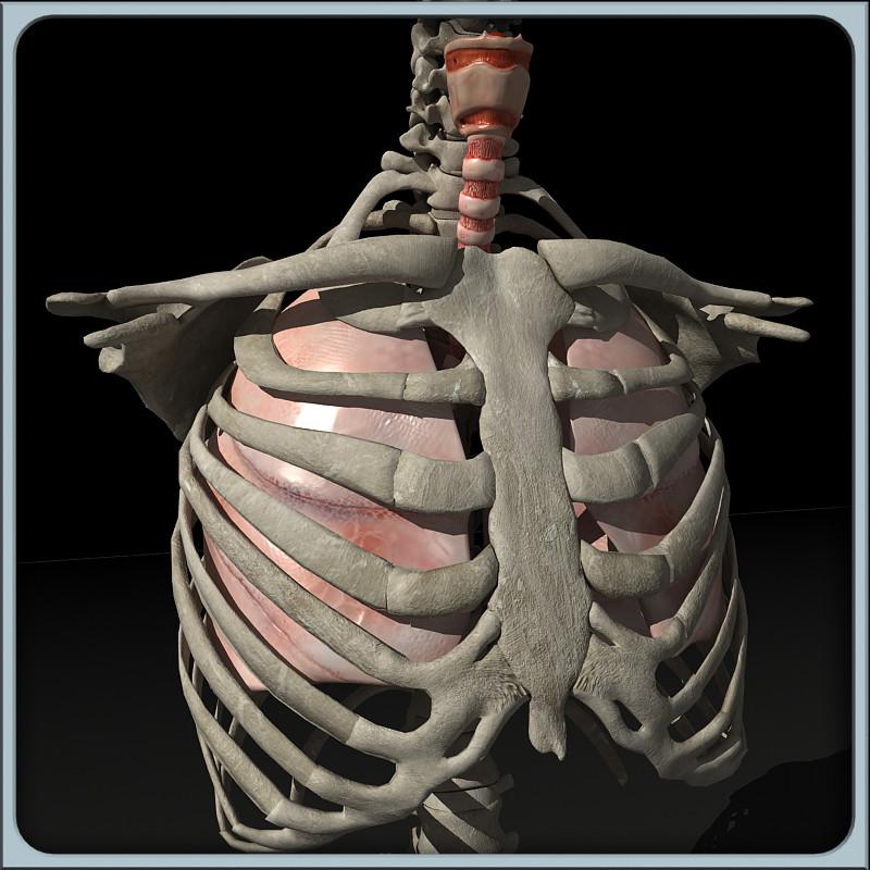 Lung_torso_render_55.jpg