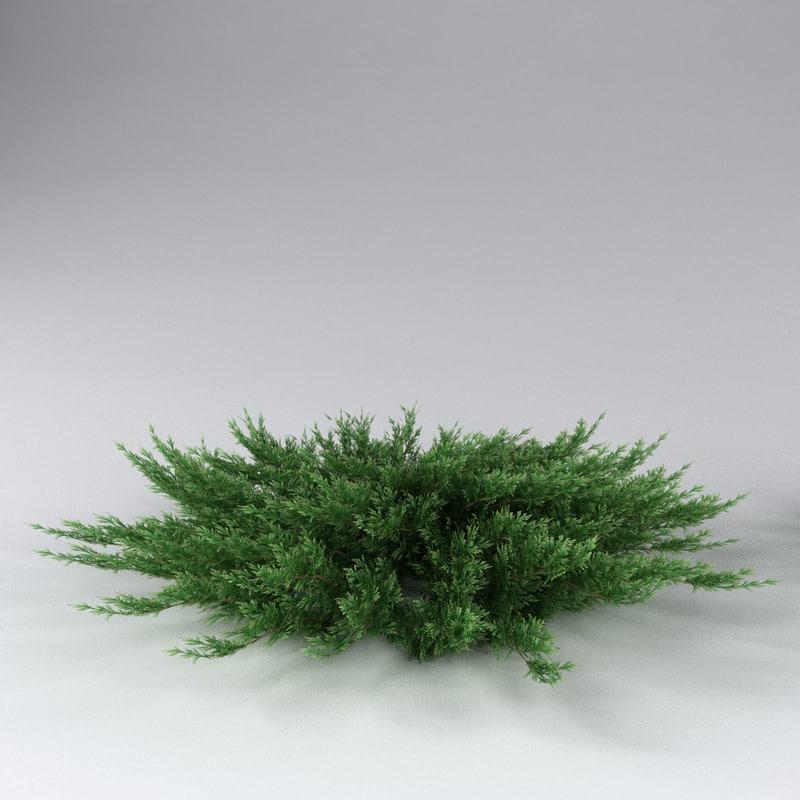 juniperus_sabina01.jpg