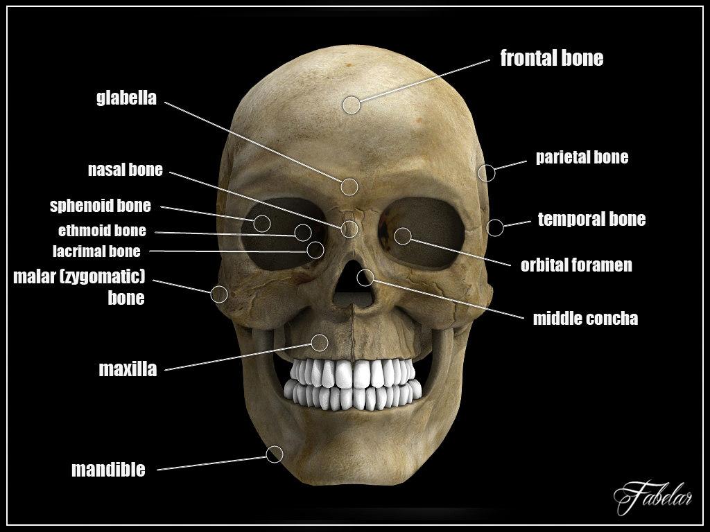 Skull 3d anatomy