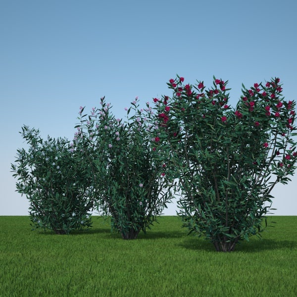 Nerium Oleander pack
