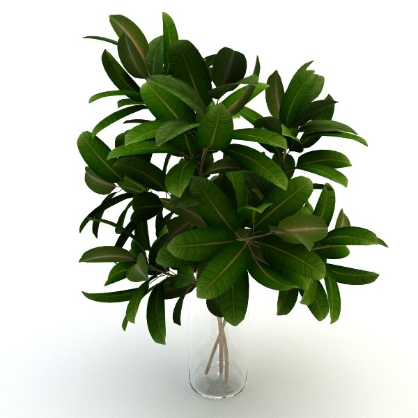 Plant pipal