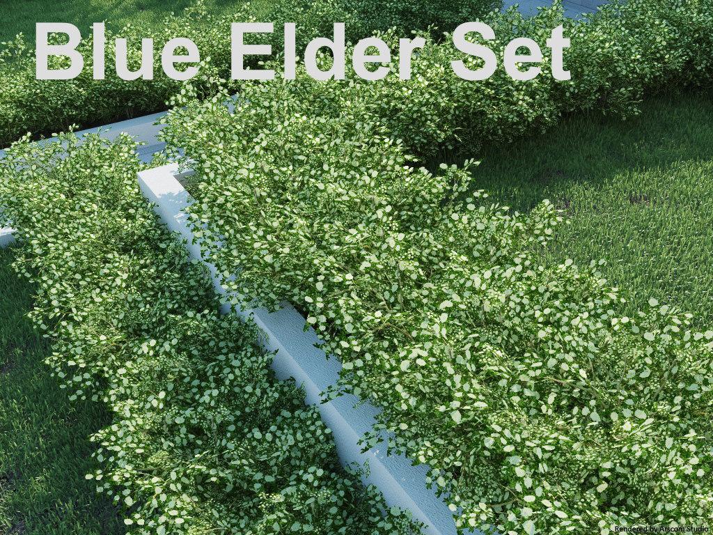 Blue Elder1.jpg
