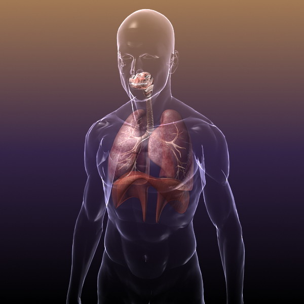 Respiratory System with Lungs in a Human Body for Medical Visualisation or Render 3D Models