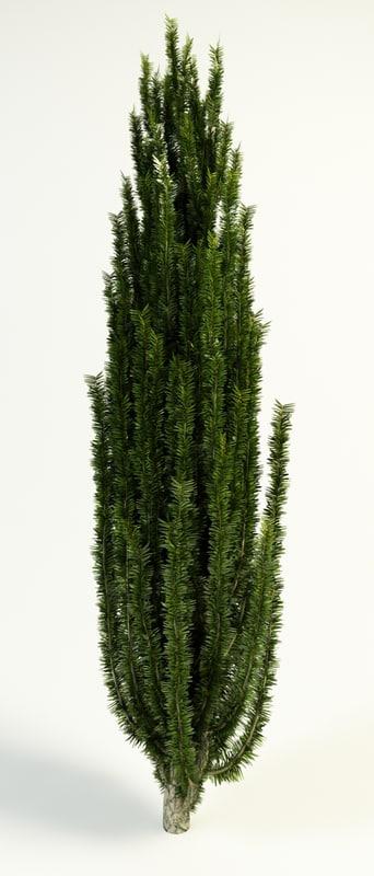 taxus_baccata_tall_1.jpg