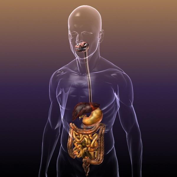 Digestive_System_HUMAN_anatomy_3d_model_1.jpg