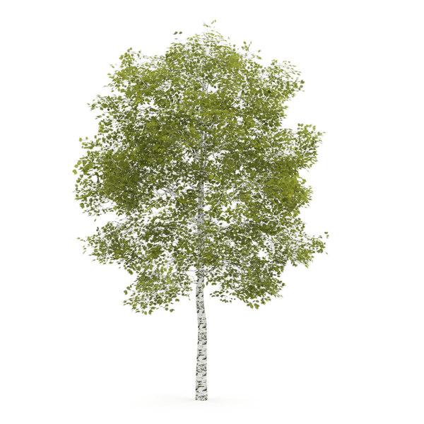 Birch-Tree 4.5m Stock Photography