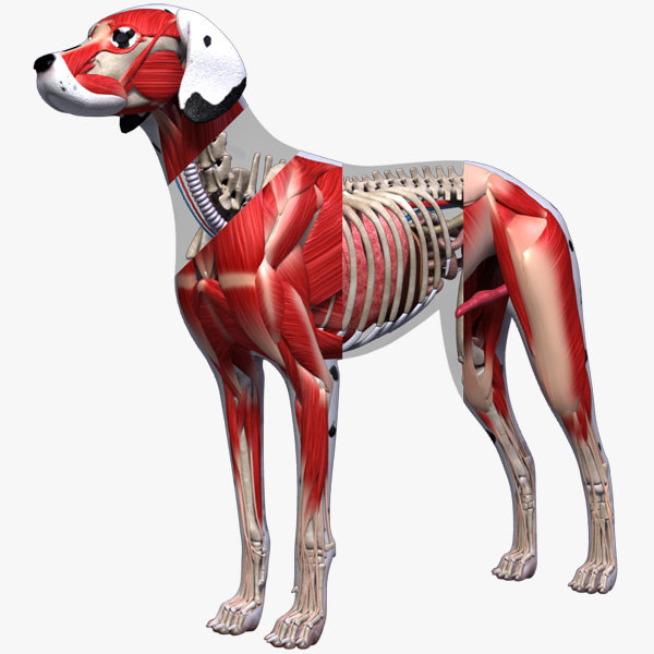 Dog_Anatomy_3d_0.jpg