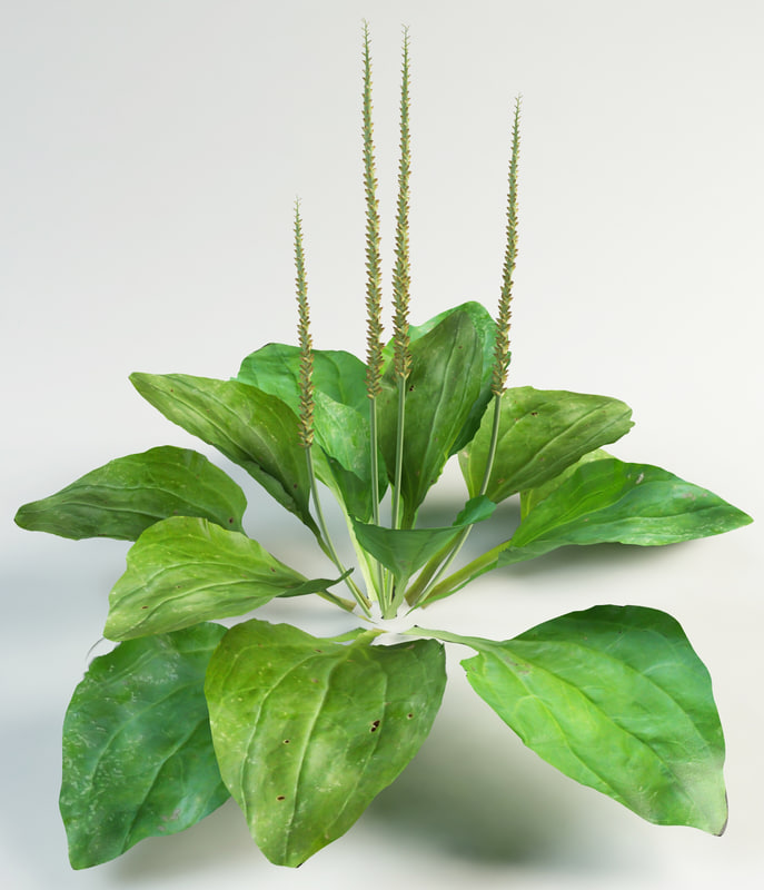 plantain_1_a.jpg