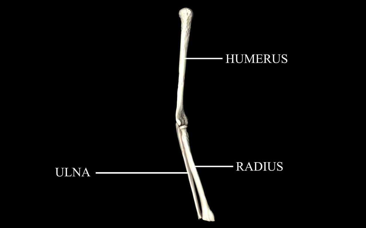 Elbow Joint Bones : Humerus, Radius, Ulna -  Medically Accurate 3d Model
