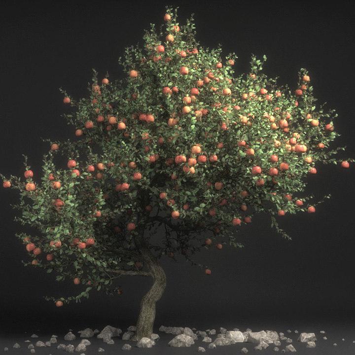 Pirus Malus - Appletree