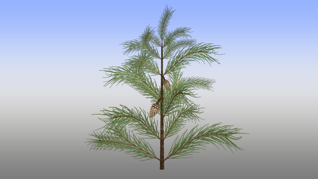 Pinus_01.jpg