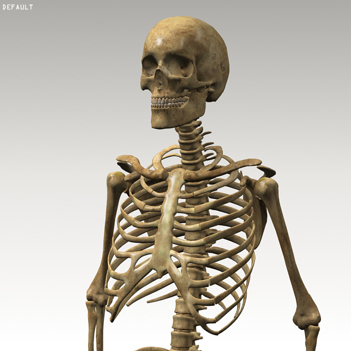Anatomy_skeleton 02