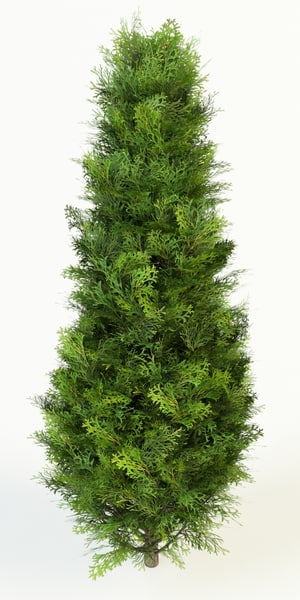 thuja occidentalis columna 3D Models