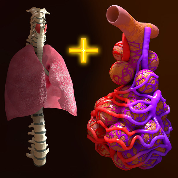 Human Respiratory Package Lung Spine Alveoli 3D Models